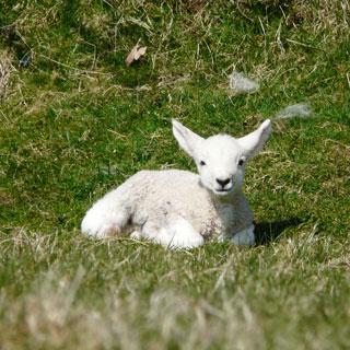 Cute lamb.
