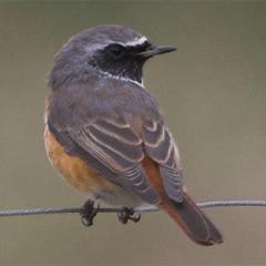 Phoenicurus phoenicurus - Redstart.