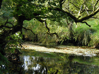 An oak overhanging the river.