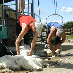 The shearers at work.