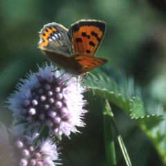 A Small Copper feeding.